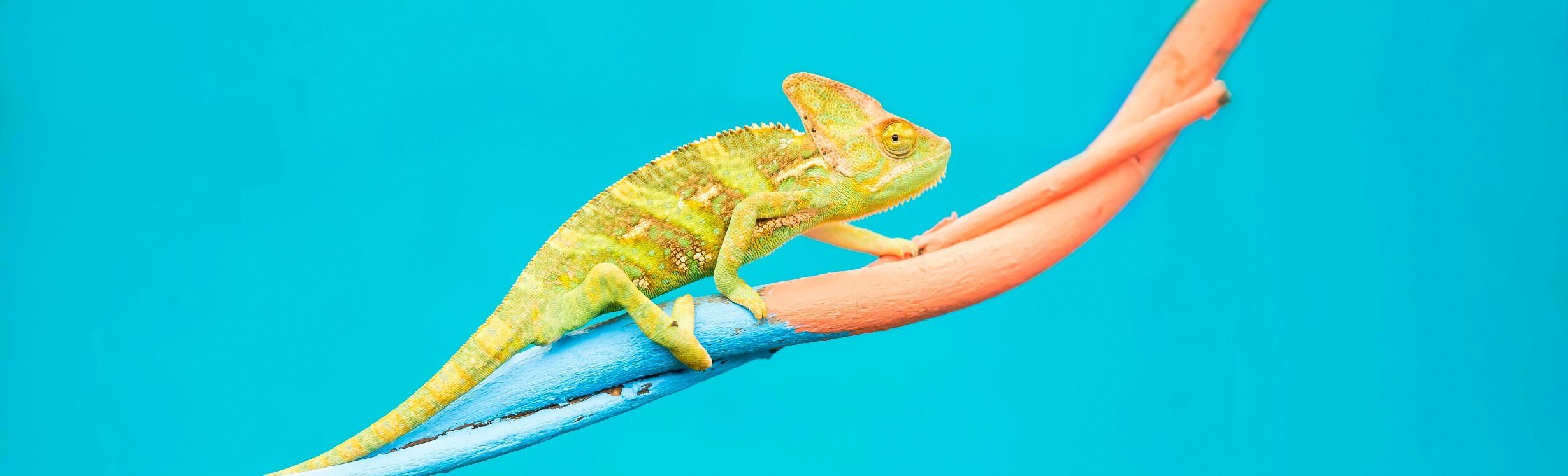 Abstract animal background, Agamidae animal wildlife, The cute chameleon is change two color on the tree.